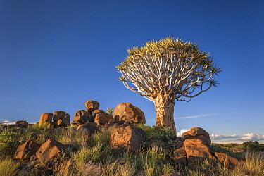 Quiver Tree (Aloe dichotoma), Keetmanshoop Quiver Tree Forest, Namibia
