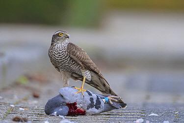 Eurasian Sparrowhawk (Accipiter nisus) female with Rock Dove (Columba livia) prey, Overijssel, Netherlands  -  Ronald Camphius