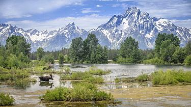 Moose (Alces alces shirasi) bull in velvet crossing pond below Mount Moran, Grand Teton National Park, Wyoming