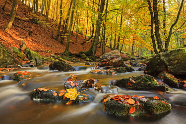 European Beech (Fagus sylvatica) forest in autumn with creek, Belgium