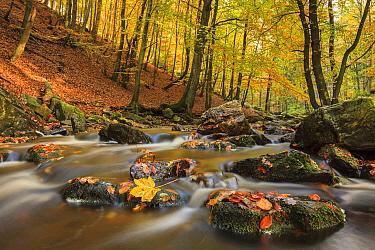 European Beech (Fagus sylvatica) forest in autumn with creek, Belgium