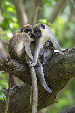 Green Monkey (Chlorocebus sabaeus) group sleeping in tree with young nursing, Bijilo Forest Park, Gambia