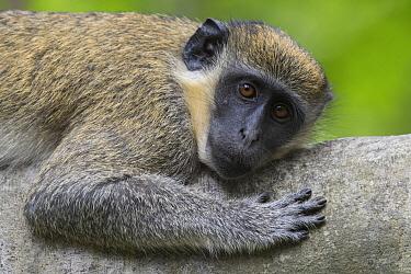 Green Monkey (Chlorocebus sabaeus), Bijilo Forest Park, Gambia