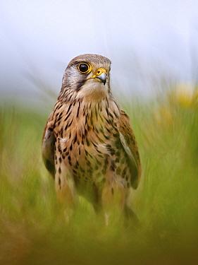 Eurasian Kestrel (Falco tinnunculus), Lancashire, United Kingdom