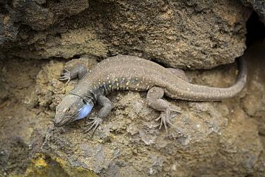 Gallot's Lizard (Gallotia galloti) male, Tenerife, Spain