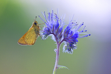 European Skipper (Thymelicus lineola) butterfly, Friesland, Netherlands