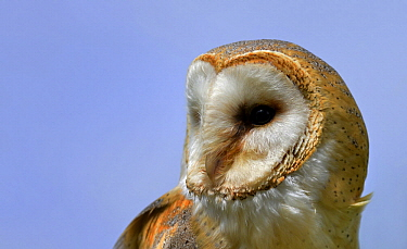 Barn Owl (Tyto alba), Overijssel, Netherlands