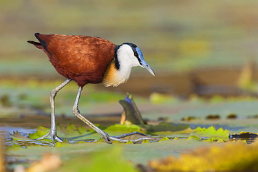African Jacana (Actophilornis africanus) walking on lily pads, South Africa