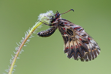 Southern Festoon (Zerynthia polyxena)  butterfly with dew, Bukk Mountains, Hungary