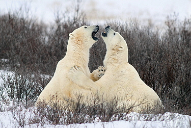 Polar Bear (Ursus maritimus) pair fighting, Churchill, Canada