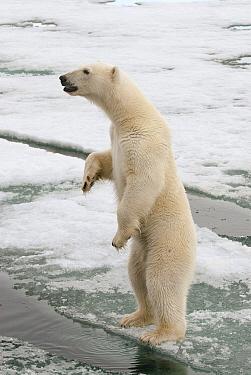 Polar Bear (Ursus maritimus) standing upright on ice, Svalbard, Norway