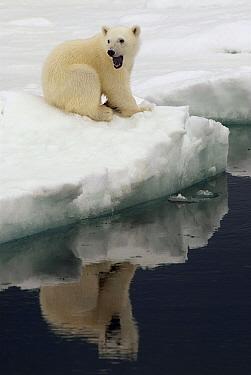 Polar Bear (Ursus maritimus) cub calling on ice, Svalbard, Norway