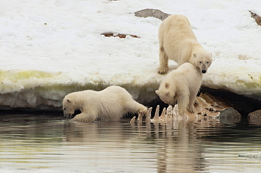 Polar Bear (Ursus maritimus) mother and cubs feeding on whale carcass in water underneath ice, Svalbard, Norway