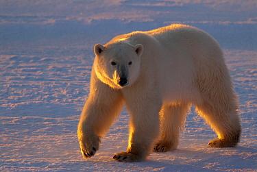 Polar Bear (Ursus maritimus) walking on ice, Churchill, Canada