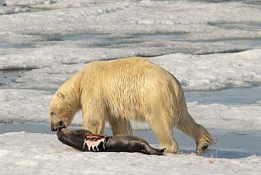 Polar Bear (Ursus maritimus) dragging seal kill, Svalbard, Norway