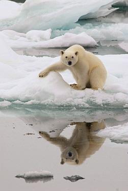 Polar Bear (Ursus maritimus) on ice near water, Svalbard, Norway