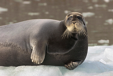 Bearded Seal (Erignathus barbatus) on ice, Svalbard, Norway