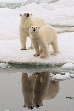 Polar Bear (Ursus maritimus) mother and full grown cub on ice, Svalbard, Norway