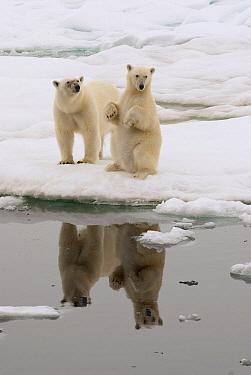 Polar Bear (Ursus maritimus) mother and full grown cub sitting upright on ice, Svalbard, Norway