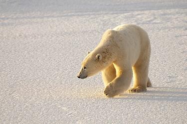 Polar Bear (Ursus maritimus) walking on ice, Svalbard, Norway