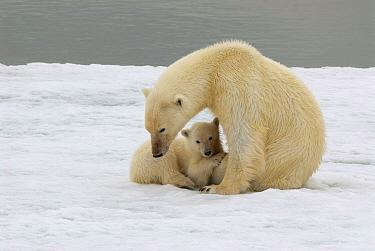 Polar Bear (Ursus maritimus) mother with cub on ice, Svalbard, Norway