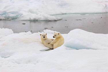 Polar Bear (Ursus maritimus) cubs playing on ice, Svalbard, Norway