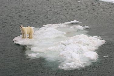 Polar Bear (Ursus maritimus) standing on ice floe, Svalbard, Norway