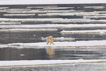 Polar Bear (Ursus maritimus) mother carrying cub on ice floe, Svalbard, Norway
