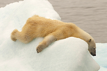 Polar Bear (Ursus maritimus) resting on ice, Svalbard, Norway