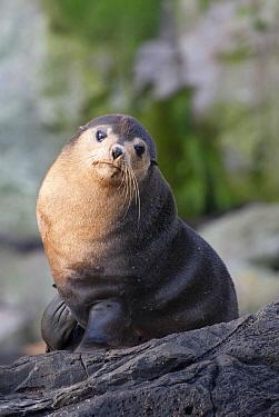 Subantarctic Fur Seal (Arctocephalus tropicalis) on coastal rock, Gough Island, South Atlantic