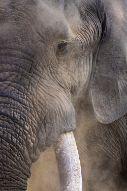 African Elephant (Loxodonta africana) male, Kruger National Park, South Africa