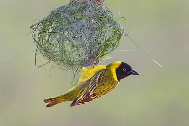 Lesser Masked Weaver (Ploceus intermedius) male building nest, Kruger National Park, South Africa