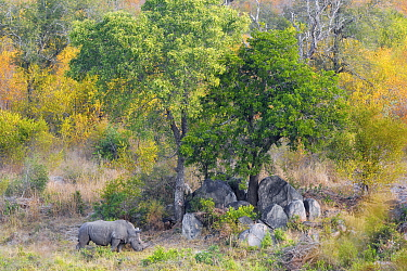 White Rhinoceros (Ceratotherium simum) in dry river bed, Kruger National Park, South Africa
