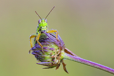 Green Mountain Grasshopper (Miramella alpina), Black Forest, Germany