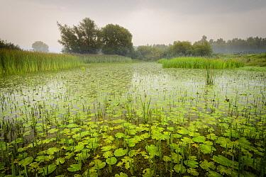 Common Reed (Phragmites australis) and Common Mare's-tail (Hippuris vulgaris) in wetland, Gelderland, Netherlands