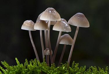 Fungus (Mycena sp) mushrooms, Utrecht, Netherlands