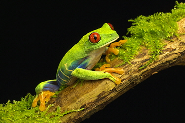 Red-eyed Tree Frog (Agalychnis callidryas) female, native to Central and South America