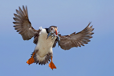Atlantic Puffin (Fratercula arctica) flying with Greater Sand Eel (Hyperoplus lanceolatus) prey, Saltee Island, Ireland