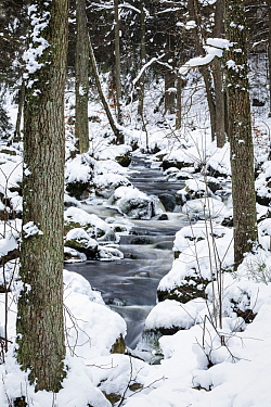 Norway Spruce (Picea abies) forest in winter with river, Hoegne River, Belgium