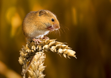 Harvest Mouse (Micromys minutus)on wheat ear, Suffolk, England