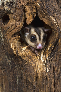 Sugar Glider (Petaurus Breviceps) in tree cavity, Suffolk, England