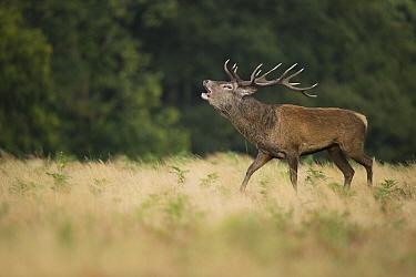 Red Deer (Cervus elaphus) stag bellowing, Richmond Park, London, England