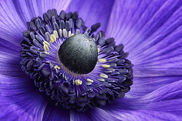 Poppy Anemone (Anemone coronaria) stamen, Lincolnshire, England