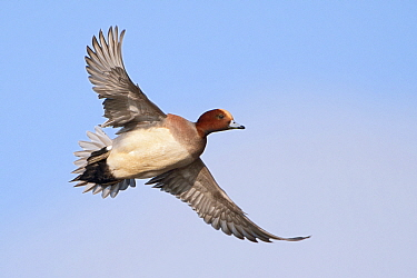 Eurasian Wigeon (Anas penelope) male flying, Friesland, Netherlands