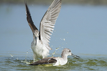 Common Greenshank (Tringa nebularia) pair in territorial fight, Cape Point, Gambia