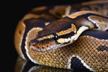 Ball Python (Python regius), Lincolnshire, England