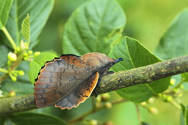 Moth (Gastropacha quercifolia) male on Glossy Buckthorn (Frangula alnus), Overijssel, Netherlands
