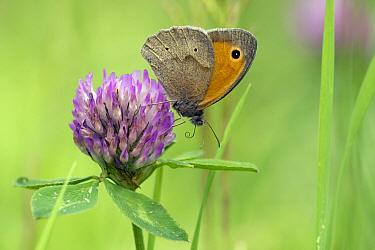 Meadow Brown (Maniola jurtina) butterfly feeding on Red Clover (Trifolium pratense) flower nectar, Zuid-Holland, Netherlands