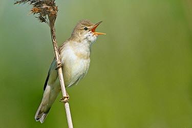 Marsh Warbler (Acrocephalus palustris) male calling, Friesland, Netherlands