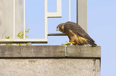 Peregrine Falcon (Falco peregrinus) juvenile on balcony, Zuid-Holland, Netherlands